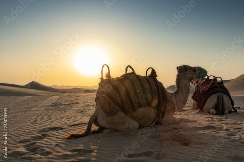 Fotografie, Tablou  Camels in the Abu Dhabi desert with sunset.