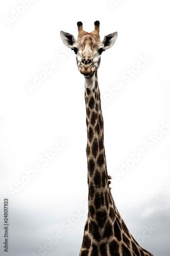 Fotografija fine art portrait of a giraffe
