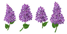 Lilac Flower Collection With Purple Flowers And Petals, In Different Positions And Bouquets. Vector Illustration For Easter, Nature And Spring Design, Isolated On White, With Green Leaf