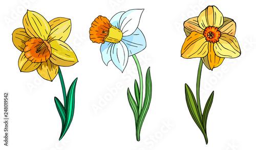 Set of multicolor Narcissus. Canvas Print