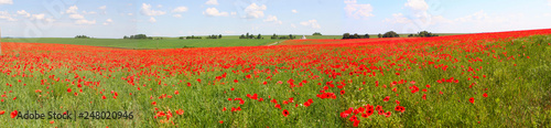 Flowers The red poppies bloom on a wild field. Beautiful red poppy fields with selective focus. soft light Natural remedies. Field of red poppies. Lonely poppy in the distant Orthodox temple - 248020946