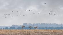 Sandhill Cranes Migrate Into A Farm