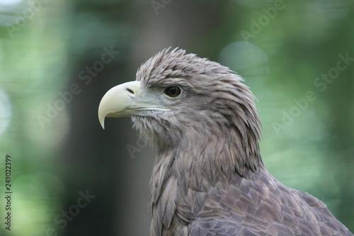 Garden Poster Parrot White-tailed Eagle (haliaeetus albicilla)