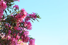 Blooming Oleander Bush Against...