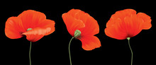 Three Red Poppy Flowers Composition Isolated On The Black Background