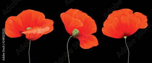Three red poppy flowers composition isolated on the black background - 248023523