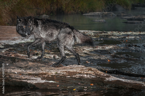 Fotografie, Obraz  Black Phase Grey Wolf (Canis lupus) Steps Out of River Autumn