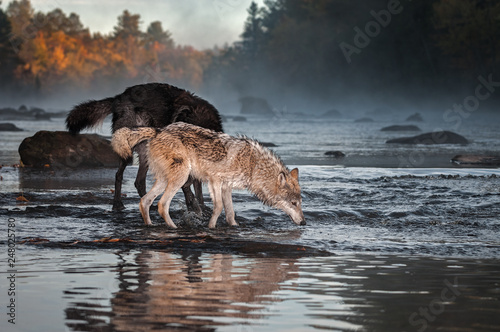 Fotografía  Grey Wolf (Canis lupus) Nose to Water With Black Wolf Autumn