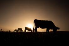 Cows On The Hill Of Transylvania , Eco Farming In Romania