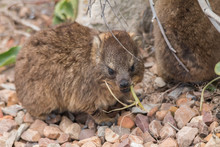 Rock Hyrax On The Rocks, South...