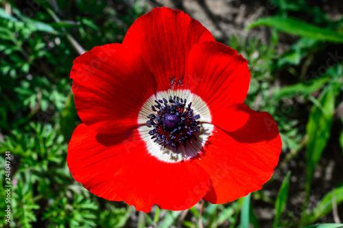 anemone red flower Fototapeta