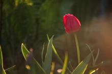Red Tulip In The Setting Sun