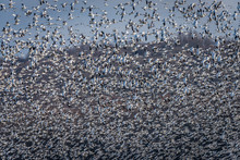 Snow Geese Taking Off At Middle Creek Wildlife Management Area In Pennsylvania