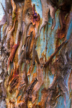 Eucalyptus Tree Bark Texture, Colourful Natural Abstract Pattern