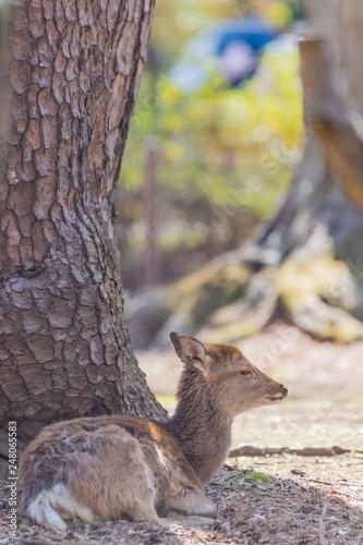 Fotografie, Obraz  休憩する小鹿