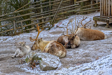 Reindeer (Rangifer Tarandus) S...