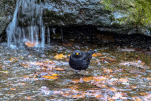 Male Blackbird (Turdus Merula) Sitting At Water Flow In Front Of Small Forest Waterfall.