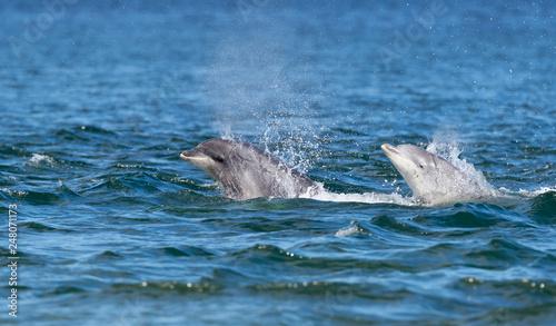 Papiers peints Dauphins Playful wild bottlenose dolphin tursiops truncatus