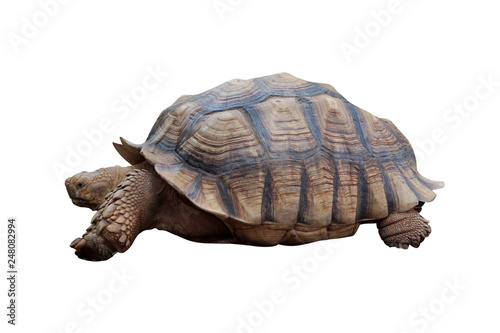 Poster Tortue Big turtle isolated on white background