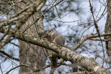 Delmarva Fox Squirrel, Sciurus...