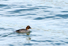 One Common Goldeneye Female Duck Swimming And Preening. An Aggressive And Territorial Duck Found In The Lakes And Rivers Of Boreal Forests Across Canada And The Northern U.S.