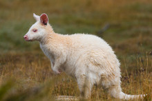 Albino Bennetts Wallaby On The Grass