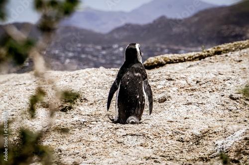 Fotografie, Obraz  Penguin on beach