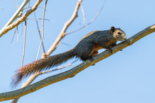 Thai Common Squirrel Perching On A Perch With Blue Sky In Background