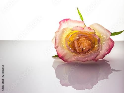 High Key Macro of Yellow & Pink Rose
