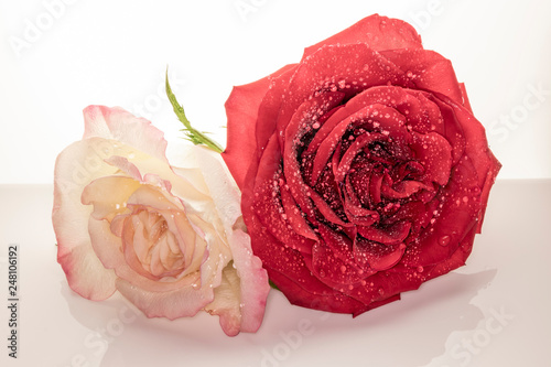 High Key Macro of Pink & Yellow Rose with Red Rose