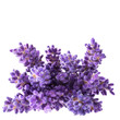 Bouguet of violet lavendula flowers isolated on white background, close up.