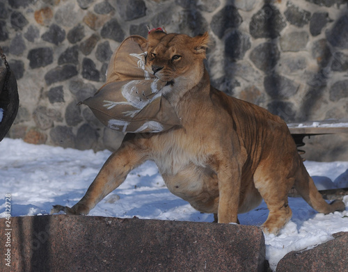 Lioness rips a bag of straw in the Kiev Zoo, January 26, 2018 This day in the Ki Canvas Print