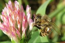 Bee On A Clover Flower