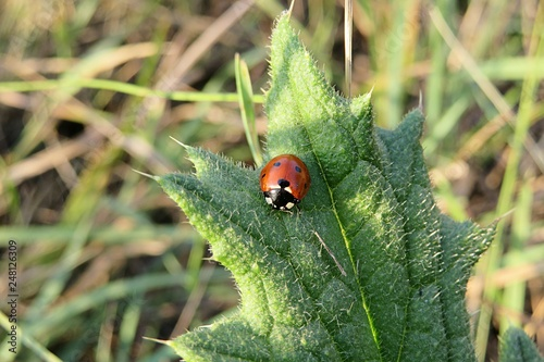 Fotografie, Obraz  Ladybug on a green leaf