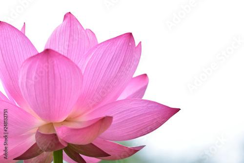 Garden Poster Lotus flower 蓮