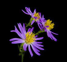 Alpine Aster Isolated On A Bla...
