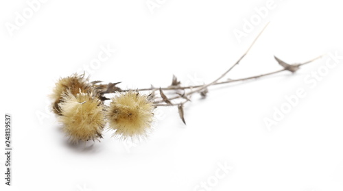Foto Dry burdock flowers isolated on white background