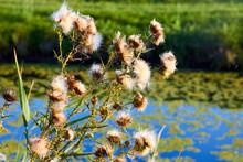 Dry Flowers Of Silybum Marianu...