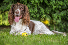 Brown And White Springer Spani...