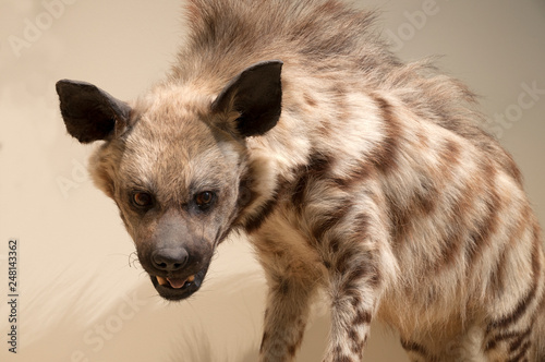 Canvas-taulu Animals, hyena