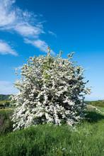 Hawthorne Tree In Bloom.