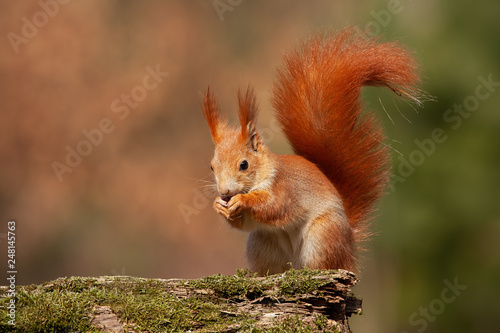 Pinturas sobre lienzo  Eurasian red squirrel, sciurus vulgaris, in autumn forest in warm light