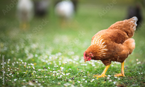 Fotografie, Tablou Hen in a farmyard (Gallus gallus domesticus)