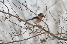 Jay Mockingbird Bird