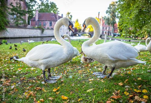 Wall Murals Bridges Swans in Bruges, Belgium
