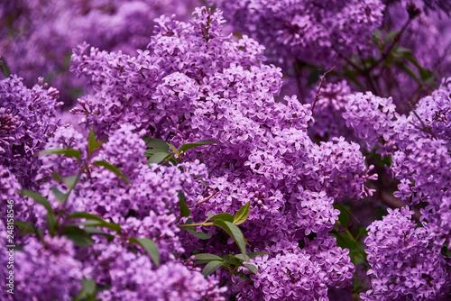 Cuadros en Lienzo beautiful lilac closeup