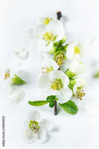 Fotografie, Obraz  Soft white vanilla spring branch of white flowers