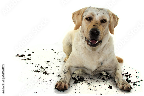 DIRTY MIXEDBRED GOLDEN OR LABRADOR RETRIEVER AND MASTIFF DOG, AFTER PLAY IN A MUD PUDDLE, MAKING A FUNNY FACE Wallpaper Mural