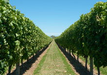 Row Of Grapevines In Vineyard