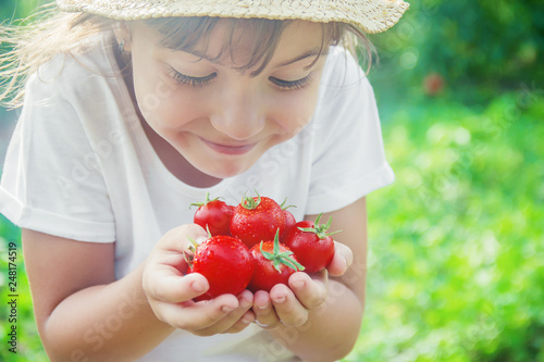Canvas Print child collects a harvest of homemade tomatoes. selective focus.